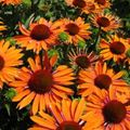 Foto: Zonnehoed 'Orange Passion'
