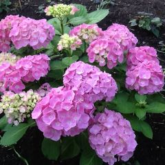 Foto: Hortensia 'Forever & Ever Pink'
