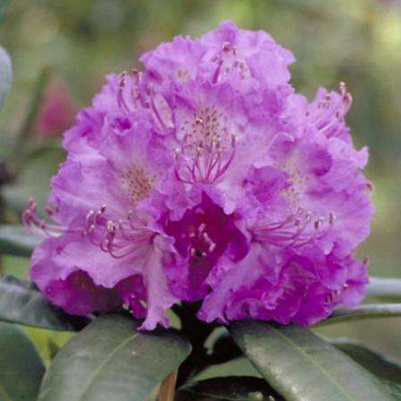 Foto: Rododendron 'Alfred'