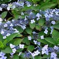 Foto: Hortensia 'Spreading Beauty'