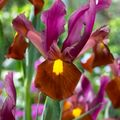 Foto: Hollandse iris 'Red Ember'