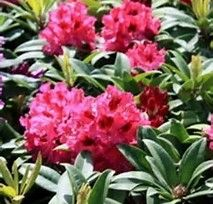Foto: Rododendron 'Marie Forty'
