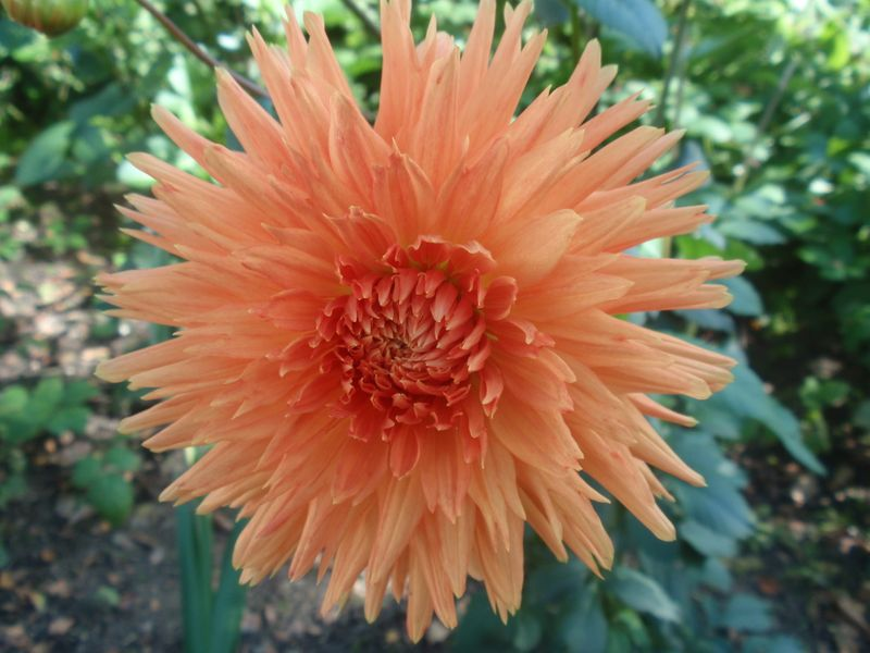 Foto: Dahlia 'Mevr. Clement Andries'