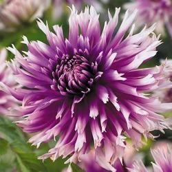 Foto: Dahlia 'Table Dancer'