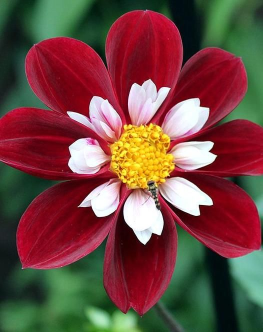 Foto: Dahlia 'Mary Evelyn'