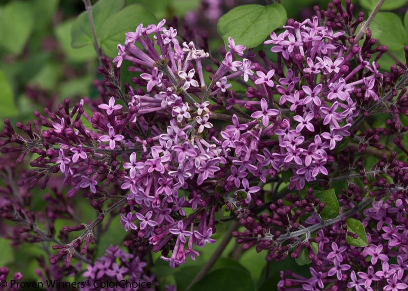 Foto: Sering 'Bloomerang Dark Purple'