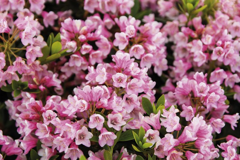 Foto: Rododendron 'Bloombux Pink'