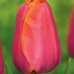 Foto: Tulp 'Jimmy'