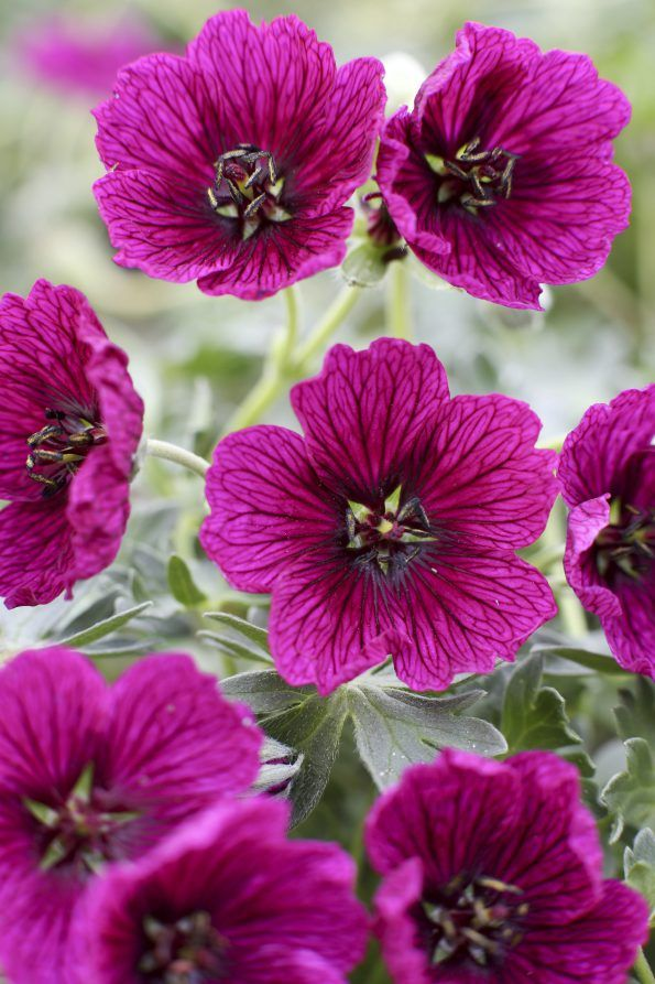 Foto: Ooievaarsbek 'Jolly Jewel Purple'
