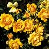Foto: Roos 'Amber Nectar'