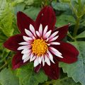 Foto: Dahlia 'Night Butterfly'