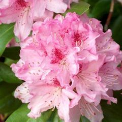 Foto: Rododendron 'Cheer'