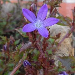 Foto: Klokjesbloem 'Addenda Blue Star'