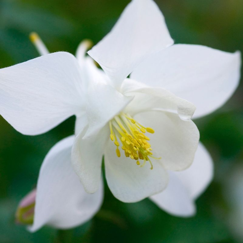 Foto: Akelei 'Spring Magic White'