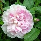 Foto: Roos 'Cottage Rose'