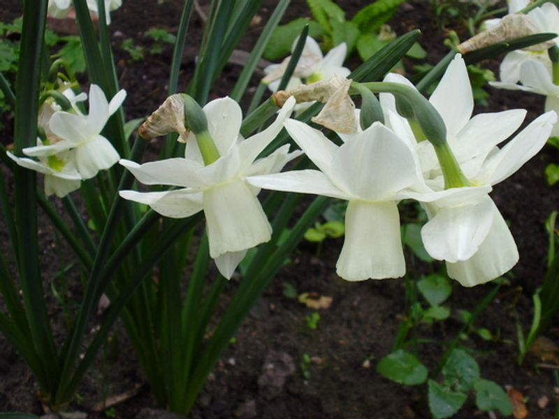 Foto: Narcis 'Ice Wings'