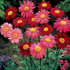 Foto: Perzische Margriet 'Robinson's Giants Mix'