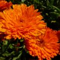 Foto: Goudsbloem 'Candyman Orange'
