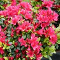 Foto: Rododendron 'Geisha Red'