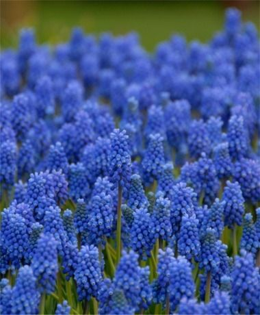 Foto: Blauw druifje 'Blue Magic'