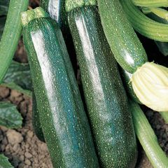 Foto: Courgette 'Sure Thing'