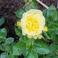 Foto: Roos 'Yellow Meilove'