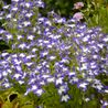 Foto: Lobelia 'Superstar'