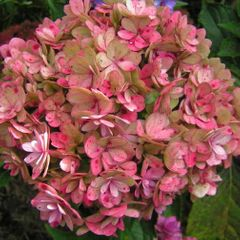 Foto: Hortensia 'You and Me Together'