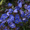 Foto: Veronica 'Georgia Blue'