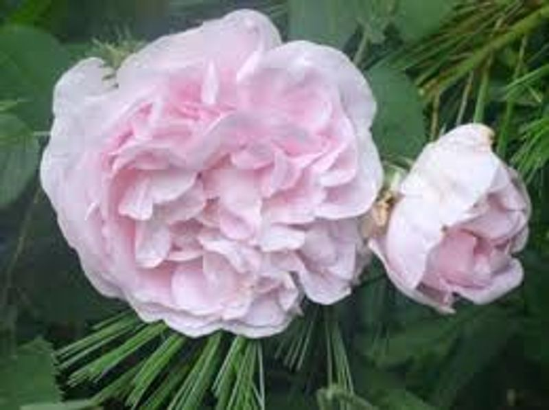 Foto: Roos 'Great Maiden's Blush'