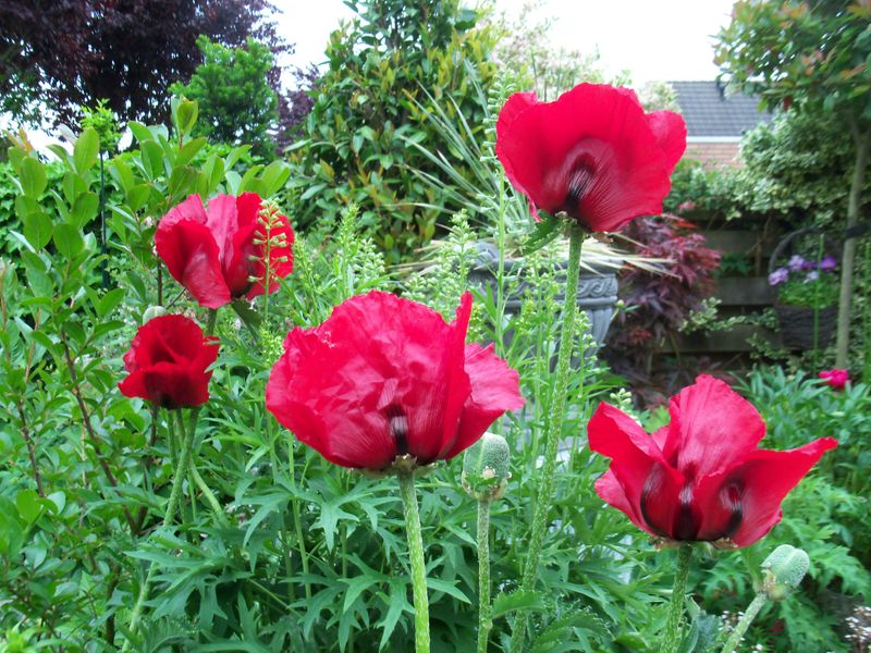 Foto: Oosterse Papaver 'Beauty of Livermere'