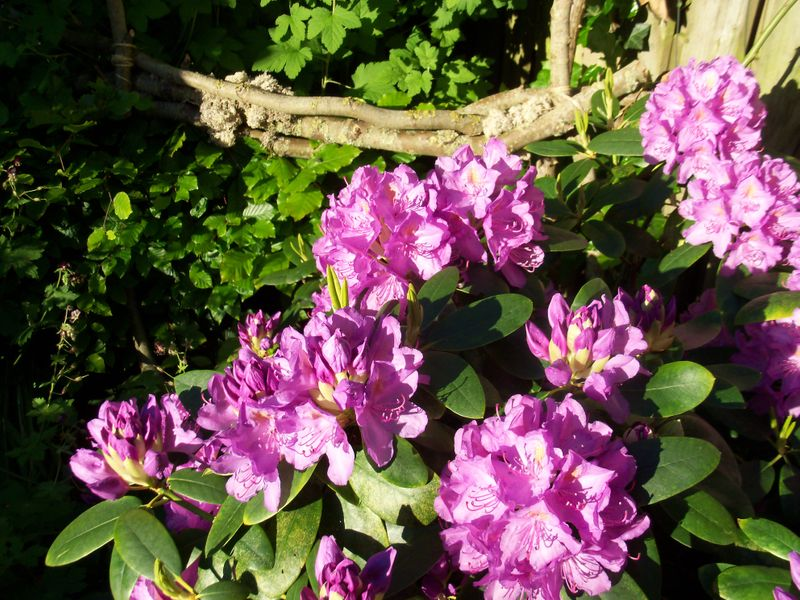 Foto: Rododendron 'Catawbiense Boursault'