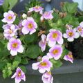 Foto: Bacopa 'Scopia Great Rose'