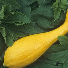 Foto: Pompoen 'Yellow crookneck'
