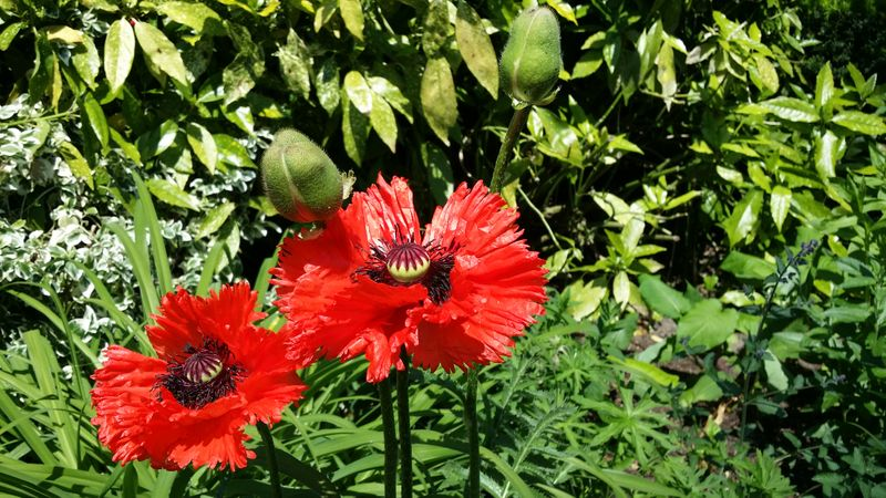 Foto: Papaver 'King Kong'