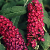 Foto: Vlinderstruik 'Royal Red'