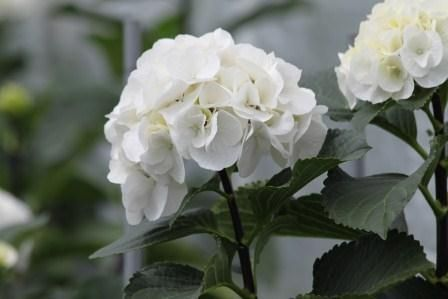 Foto: Hortensia 'White Ball'