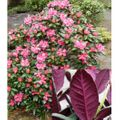 Foto: Rododendron 'Wine and Roses'