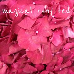 Foto: Hortensia 'Magical Ruby red'