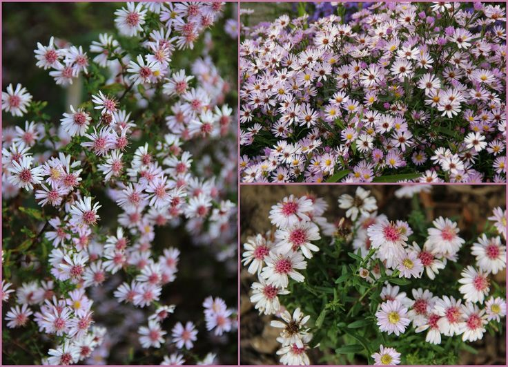 Foto: Aster 'Pink Buttons'