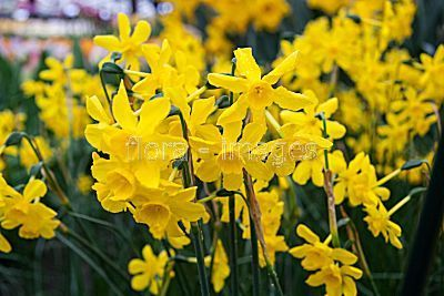Foto: Narcis 'Twinkling Yellow'