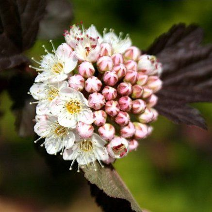 Foto: Blaasspirea 'Lady in Red'