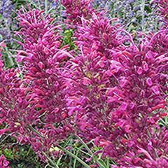 Foto: Dropplant 'Heather Queen'