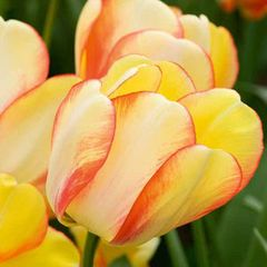 Foto: Tulp 'Beauty of Spring'