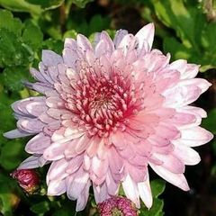 Foto: Chrysant 'Orchid Helen'