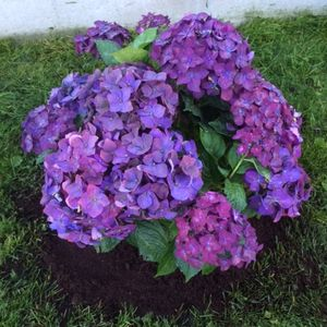 Foto: Hortensia 'Deep Purple Dance'