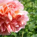 Foto: Roos 'Claire Rose'