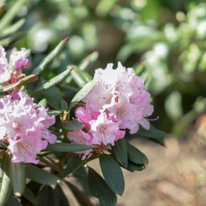 Foto: Rododendron 'Pink Parasol'