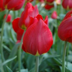 Foto: Tulp 'Red revival'