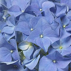 Foto: Hortensia 'Early Blue'